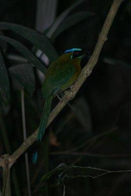 Tikal_motmot.jpg