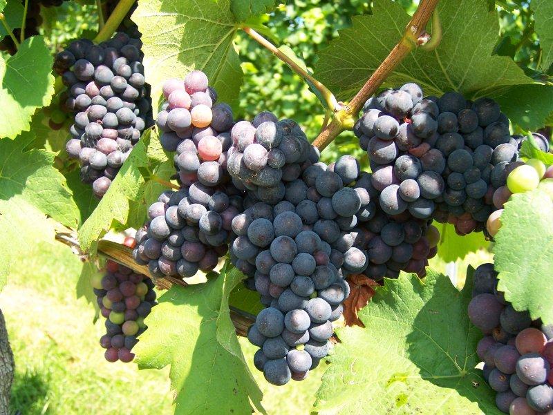 Bodensee Weintrauben