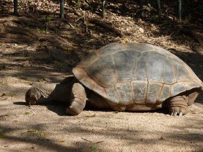 Aldabra Tortoise Taronga