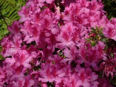Pink flowers Taronga
