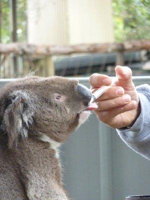 29_Koala_k.._fed_Port_M.jpg