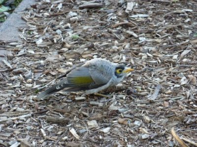 35_Angry_bird_Brisbane.jpg