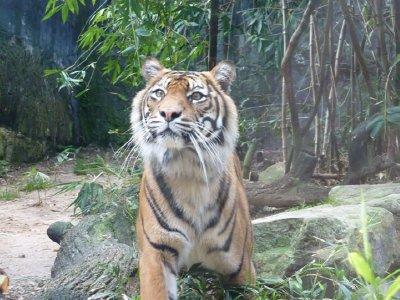 Tiger Taronga