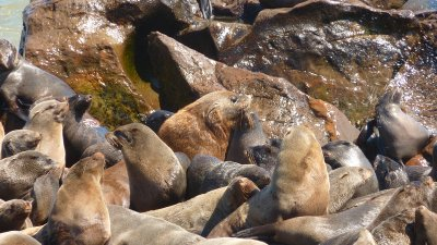 Posing seals at Cape Cross, Skeleton Coast,  Namibia