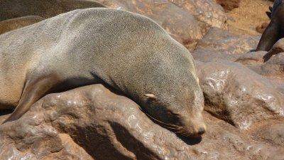 sleepy seal at Cape Cross, Skeleton Coast,  Namibia