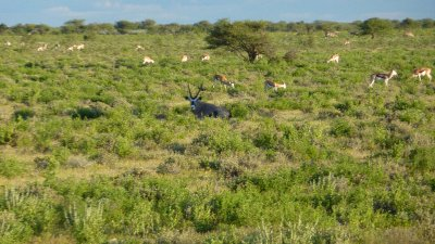 Orix (Gemsbok) with Springbok in background in Etosha, Namibia