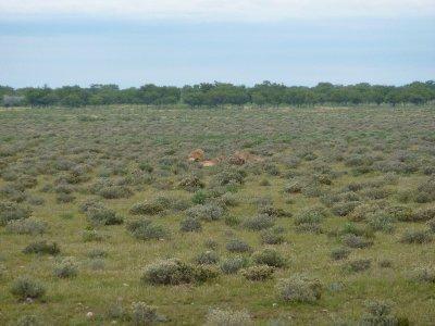Lions with Orix kill in Etosha, Namibia