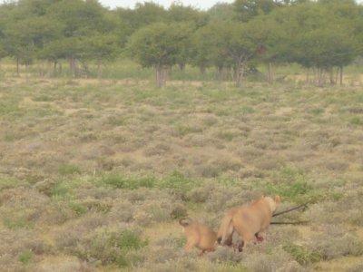Lions with Orix (Gemsbok) kill in Etosha, Namibia