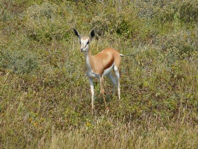 Springbok in Etosha, Namibia