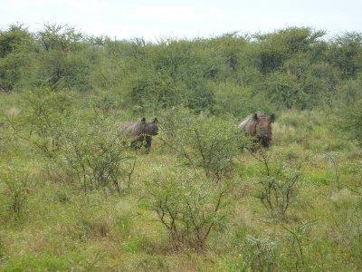 Black rhino, Etosha, Namibia