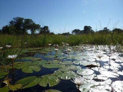 Lillies at the Okavango Delta, Botswana