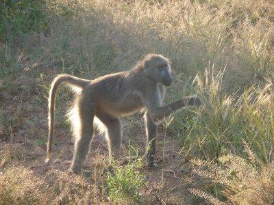 Baboon Chobe