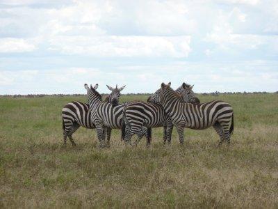 Zebra keeping an eye on stuff in the Serengeti