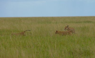 Young lions in the Serengeti