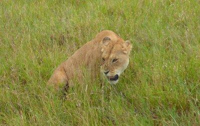 Grumpy lion in the Serengeti