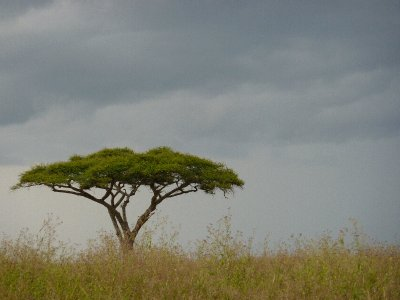 Acacia in the Serengeti