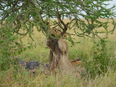 Tree hugger in the Serengeti