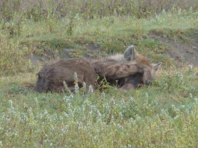 Hyena trying to get rid of the flies that were plaguing it in the Serengeti