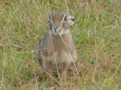 Hare in the Serengeti