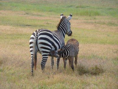 Suckling Zebra in the Serengeti
