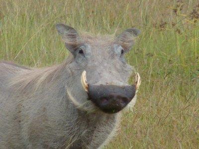 Warthog in the Serengeti