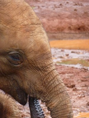 Baby elephant at the Nairobi orphanage