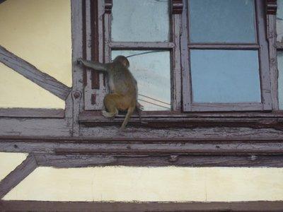 Intruder at our Shimla Hotel, Himachal Pradesh, India
