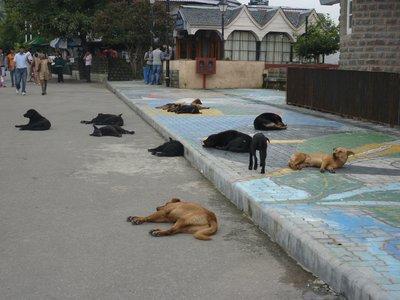 Dog masacre in Shimla