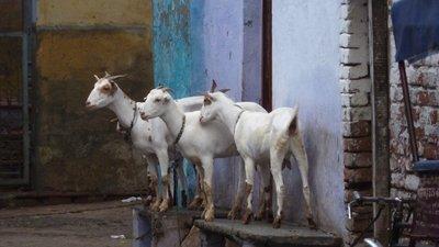 Goats, walking to the Taj Mahal, Agra, India I