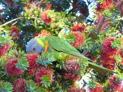 Rainbow laurakeet, Royal Botanical Gardens, Sydney, Australia