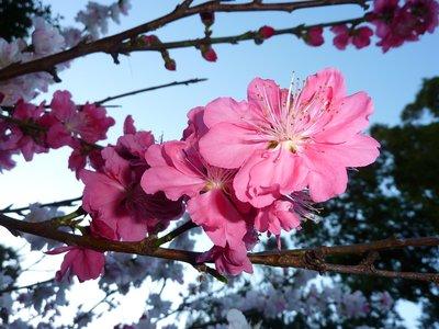Peach Blossom, Royal Botanical Gardens, Sydney, Australia