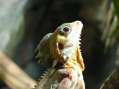 Forest Dragon, Wildlife World, Sydney, Australia