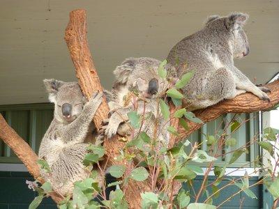 Koalas, Wildlife World, Sydney, Australia