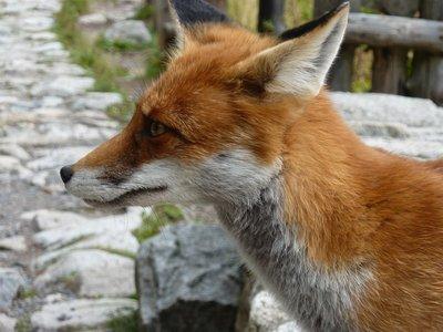 Smokovec fox close up