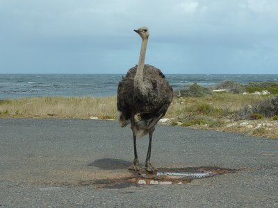 Ostrich at Cape of Good Hope