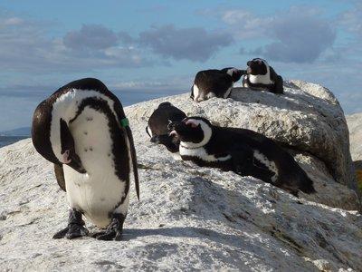 Penguins at Simons Town