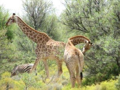 5_giraffes.jpg