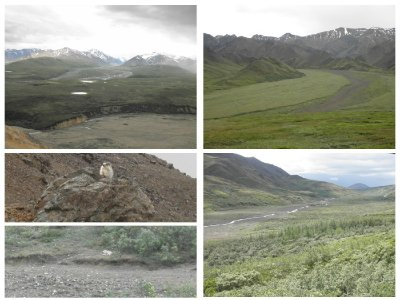 Denali Park. Left below a marmot and a wolf (there are only 68 in the 6 mln ha park...)