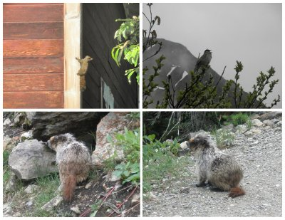 Animals in Alaska & Canada: squirrel fight in Mc Carthy, bird in Exit Glacier, and marmot in Banff