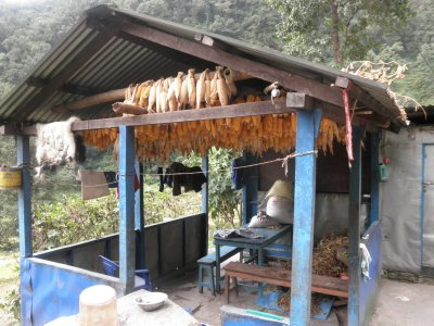 Harvest season with drying corn.