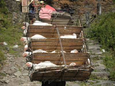 Chicken transport in the Annapurna valley with the poor chicken anxiously tattering