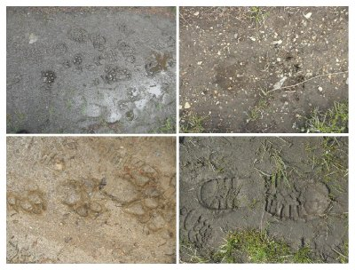 Some nice footprints, guess what is what... there is a grizzly bear footprint from the parker ridge (which just passed before me, I was told), and furthermore....
