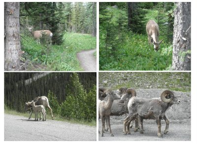 Deer and bighorn / rocky mountain sheep. The male and female bighorn herd separately
