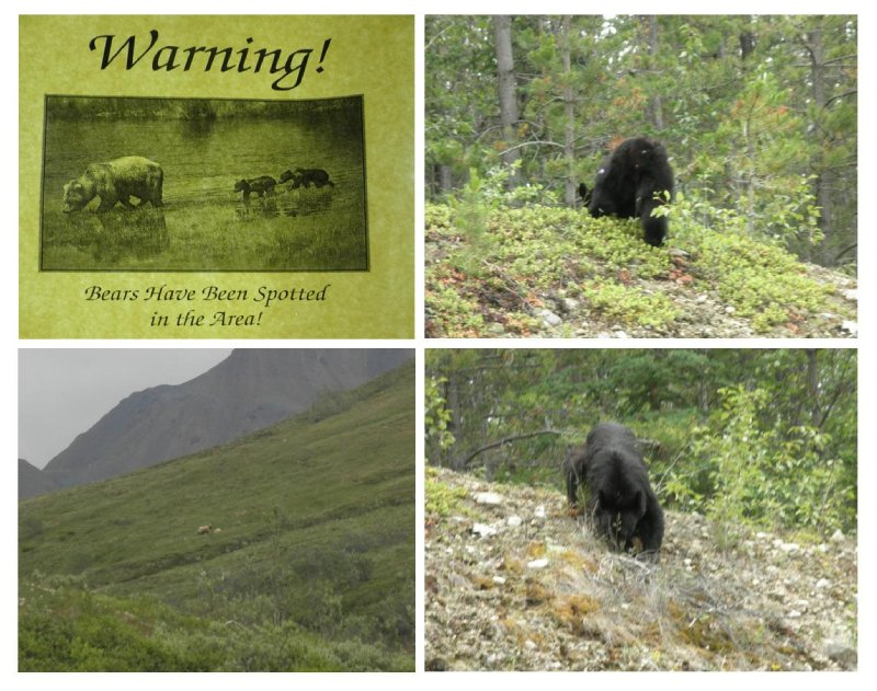 Right: black bear close to Jasper with 10 cars trying to get pictures from the cute bear who is unaware of these paparazzi. Left: brown bear in Denali park with 2 young bears.