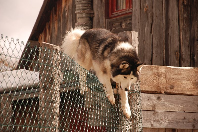 A Huskie trying (and managing) to escape his 'house' in Casterino at the very nice Auberge Marie Madeleine. His 5 fellow huskies were of course very jealous that he was walking freely and they were not. The huskie on the picture was of course very happy and proud... Even his boss was impressed how he managed to get over the fence.
