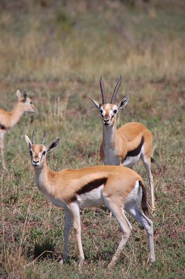 Thompson's gazelles = food