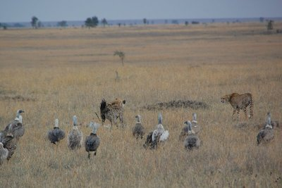 Faceoff between a hyena and cheetah