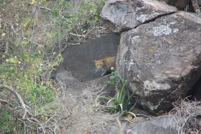 Leopard hiding out till the hyenas leave