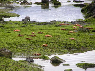 Red Crabs on Green