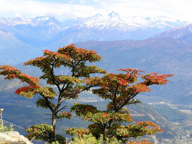 View of Tree and Mountains from Piltriquitron